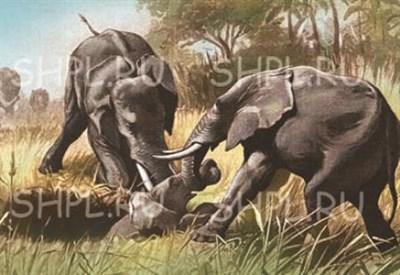 """Открытка """"Старые слоны вытаскивают из охотничьей ямы детеныша"""" - фото 4691"""